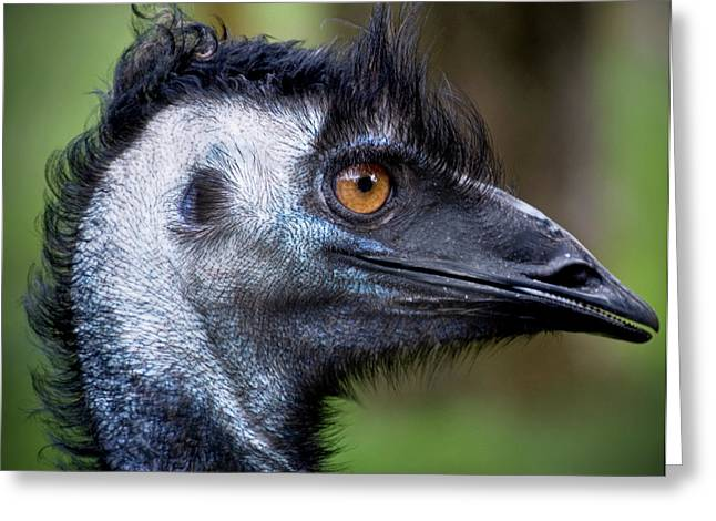 Emu Greeting Cards - Emu  Greeting Card by Kym Clarke