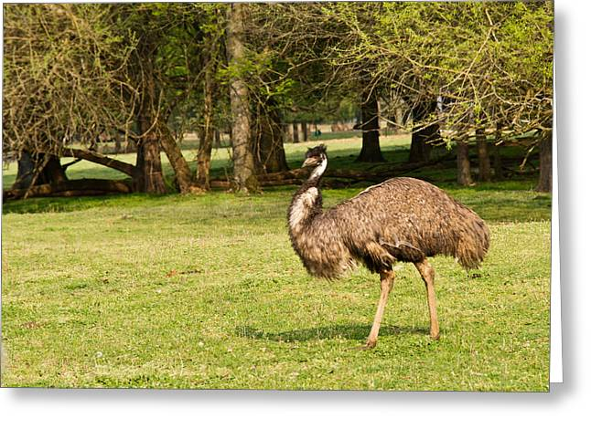 Emu Greeting Cards - Emu Out Walking Greeting Card by Douglas Barnett