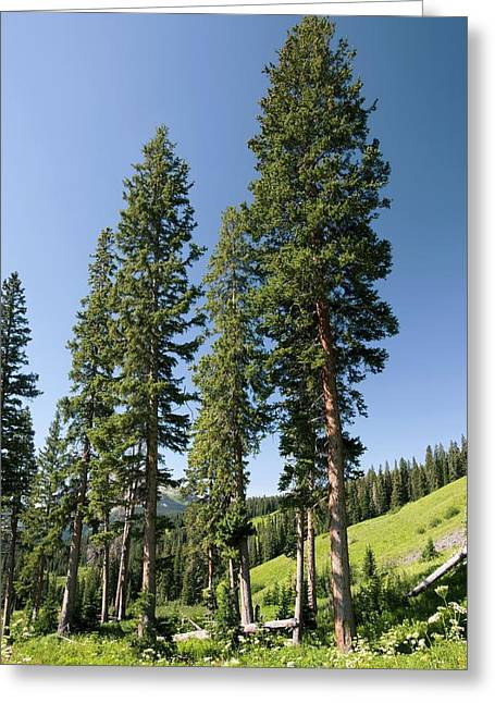 Ss Unites States Greeting Cards - Engelmans Spruce (picea Engelmanii) Greeting Card by Bob Gibbons