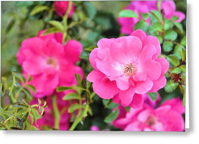 Soft Light Greeting Cards - English Garden Roses Greeting Card by Jan Amiss Photography