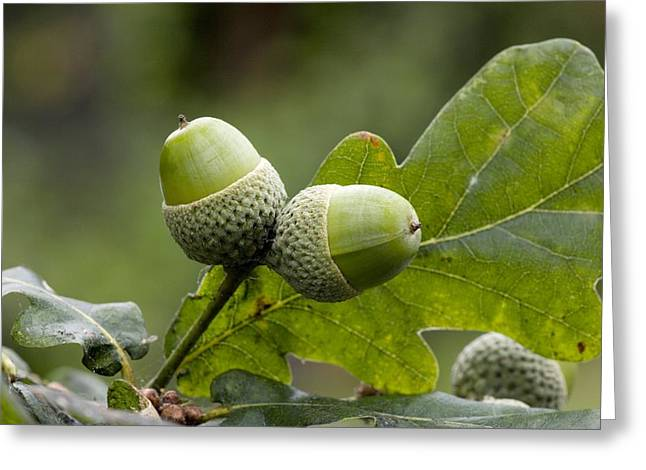 Acorn Greeting Cards - English Oak Acorns (quercus Robur) Greeting Card by Bob Gibbons