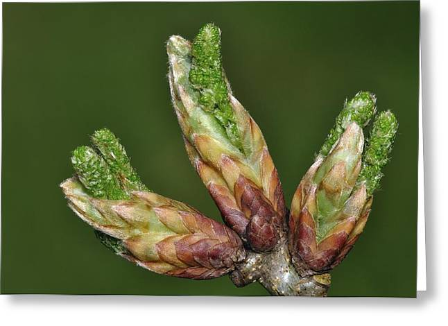 Quercus Greeting Cards - English Oak Buds Greeting Card by Colin Varndell
