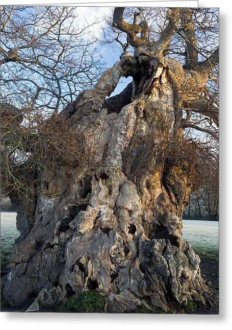 Quercus Greeting Cards - English Oak Tree (quercus Rober) At Dawn Greeting Card by Bob Gibbons