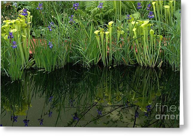 Pitcher Plant Reflection Greeting Cards - English pitcher plants beside the water Greeting Card by Mike Nellums