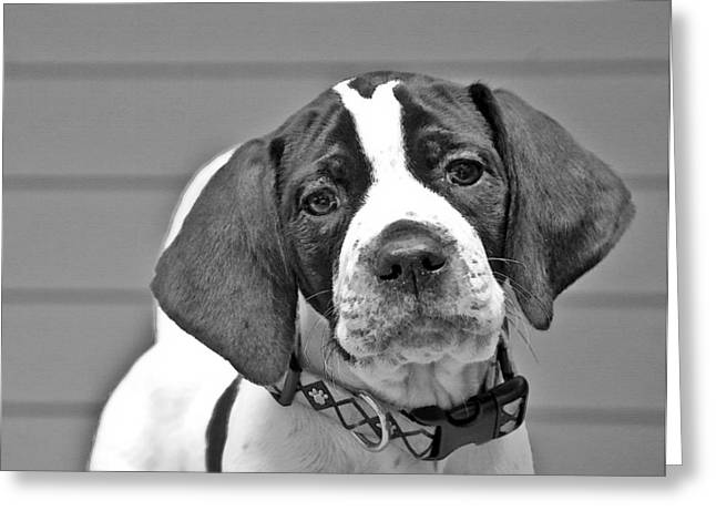 Susan Leggett Greeting Cards - English Pointer Puppy Black and White Greeting Card by Susan Leggett