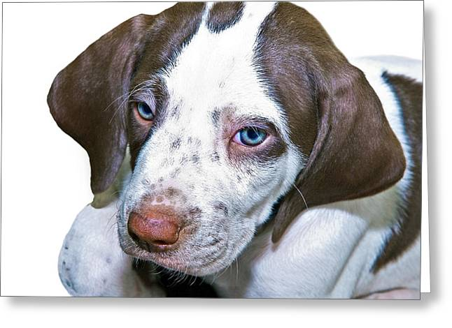 Susan Leggett Greeting Cards - English Pointer Puppy Greeting Card by Susan Leggett