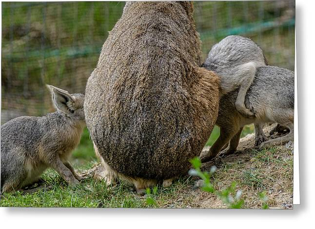 Cavy Greeting Cards - Enough for Everyone Greeting Card by Greg Nyquist