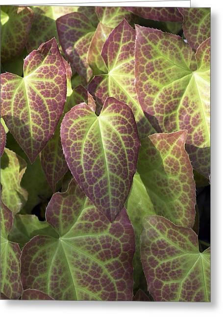 Yang Greeting Cards - Epimedium Perralderianum Leaves Greeting Card by Dr Jeremy Burgess