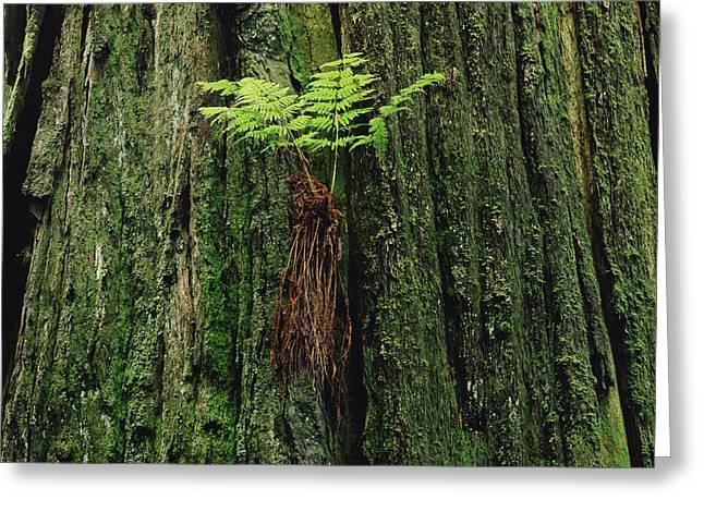Epiphytic Fern Growing On Redwood Greeting Card by Gerry Ellis