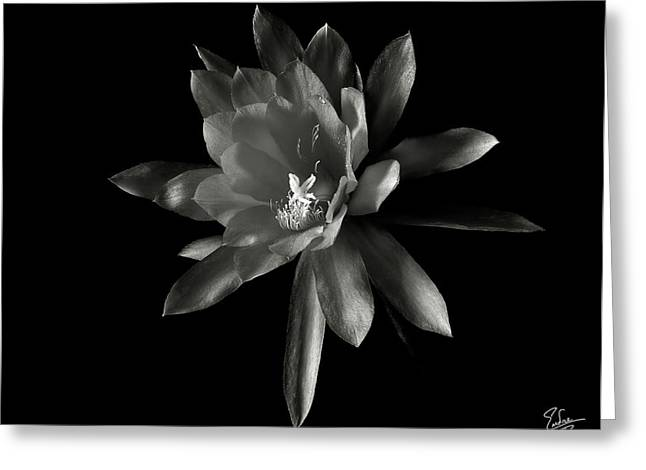 Flower Photos Greeting Cards - Epyphylum Padre in Black and White Greeting Card by Endre Balogh