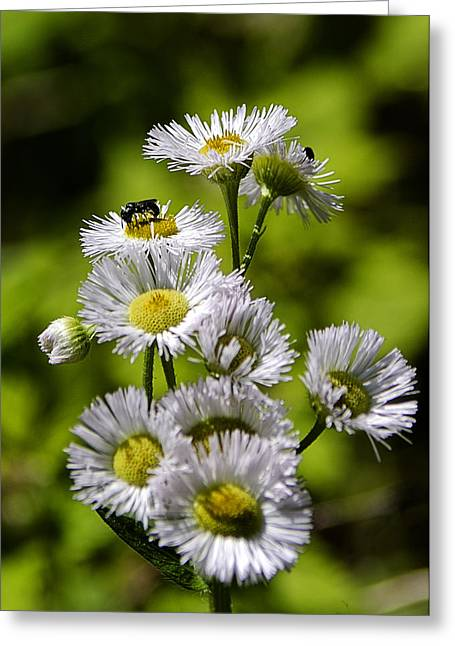 Wild Orchards Greeting Cards - Erigeron philadelphicus Greeting Card by LeeAnn McLaneGoetz McLaneGoetzStudioLLCcom