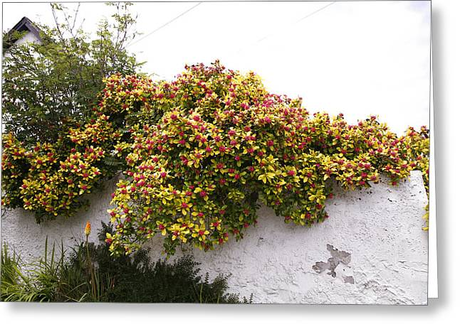 Pink Gold Flora Greeting Cards - Escallonia Exoniensis gold Brian Greeting Card by Dr Keith Wheeler