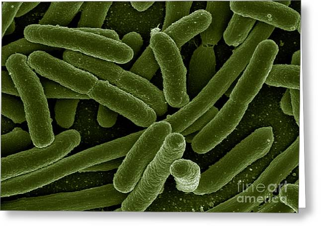 Pathogenic Species Greeting Cards - Escherichia Coli Bacteria, Sem Greeting Card by Science Source