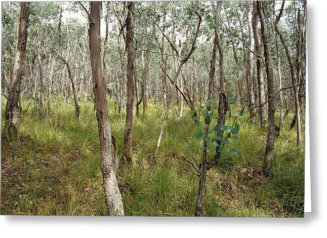 Dappled Sunlight Greeting Cards - Eucalyptus Camphora Trees And Hookers Greeting Card by Jason Edwards