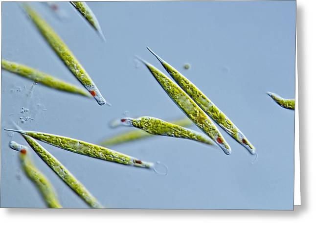 Unicellular Greeting Cards - Euglena Protozoa, Light Micrograph Greeting Card by Gerd Guenther
