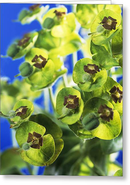 Euphorbia Greeting Cards - Euphorbia Sp. Greeting Card by Sheila Terry