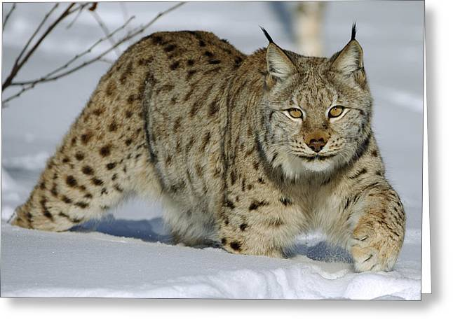 Felidae Greeting Cards - Eurasian Lynx  In Snow Greeting Card by Willi Rolfes