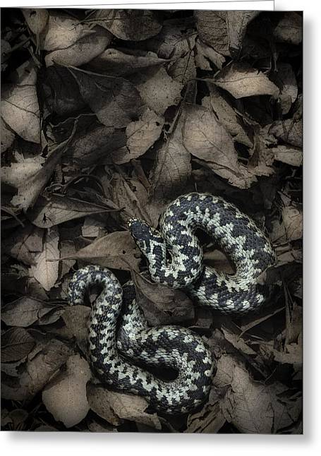 Toxin Greeting Cards - European Adder Greeting Card by Andy Astbury