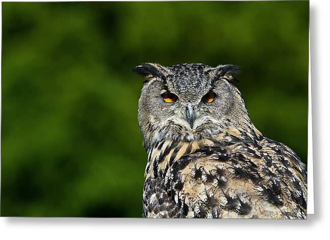 Tufted Ears Greeting Cards - European Eagle Owl Greeting Card by Linda Wright