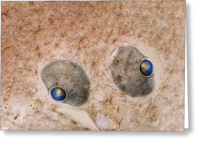 Flounder Greeting Cards - European Flounder Platichthys Flesus Greeting Card by Ingo Arndt