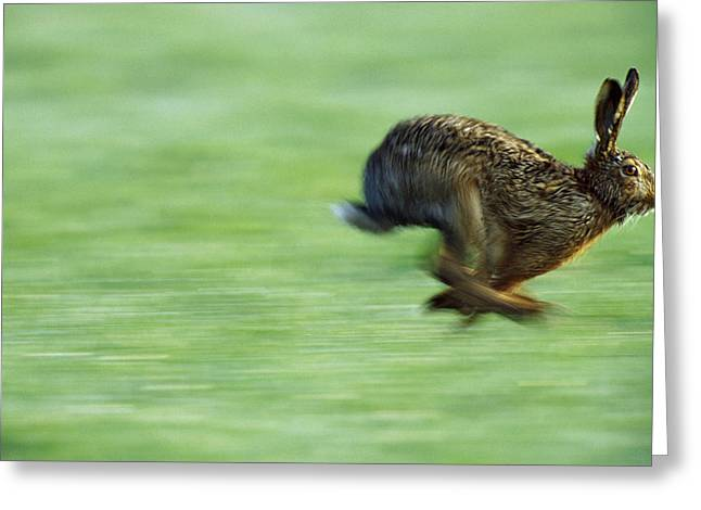Hare Greeting Cards - European Hare Lepus Europaeus Running Greeting Card by Konrad Wothe