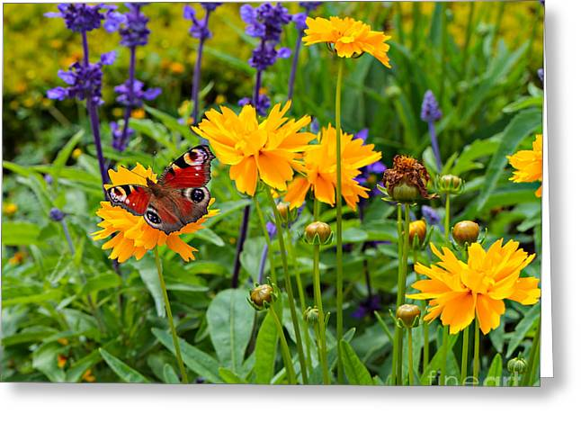 Tickseed Greeting Cards - European Peacock Butterfly on Tickseed with Lavender Greeting Card by Louise Heusinkveld