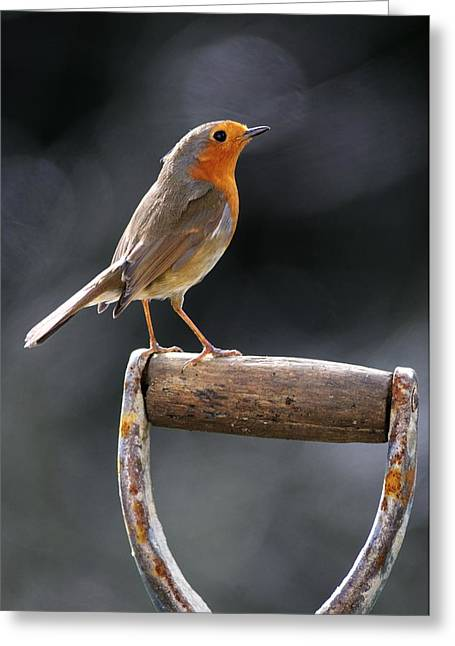 British Fauna Greeting Cards - European Robin Greeting Card by Colin Varndell