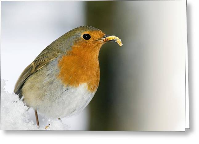 Best Sellers -  - Eating Entomology Greeting Cards - European Robin Feeding On A Mealworm Greeting Card by Duncan Shaw