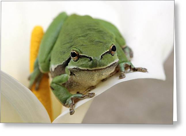 Hylas Greeting Cards - European Tree Frog Greeting Card by Photostock-israel