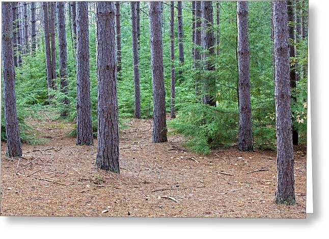 Pine Needles Greeting Cards - Evergreen Forest Greeting Card by John Stephens