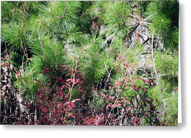 Point Lobos Greeting Cards - Evergreen with Shrubs Greeting Card by Harvey Barrison