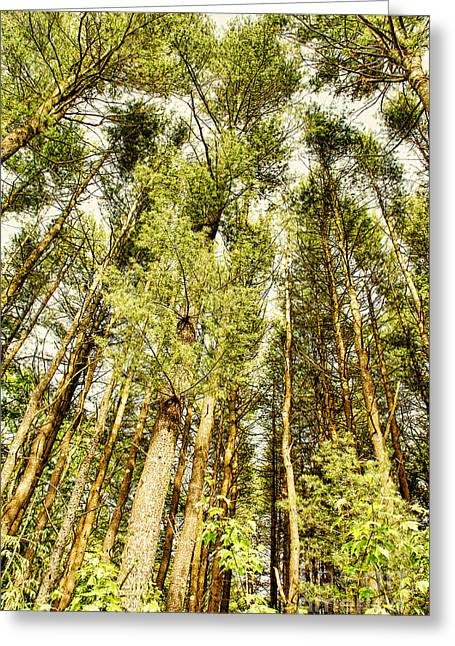 Conifer Tree Greeting Cards - Evergreens Greeting Card by HD Connelly