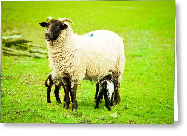 Lambing Greeting Cards - Ewe and lambs Greeting Card by Tom Gowanlock