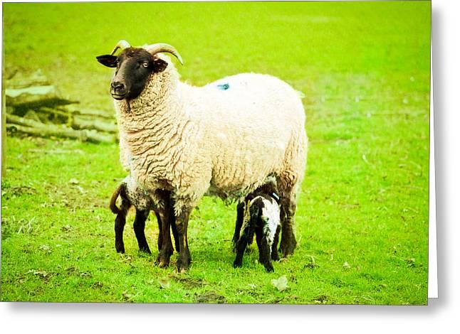 Ewe and lambs Greeting Card by Tom Gowanlock