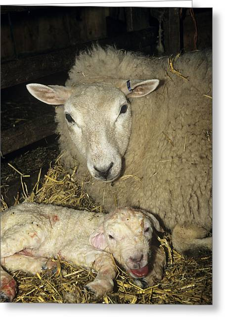 Ewe And New Born Lamb Greeting Card by David Aubrey