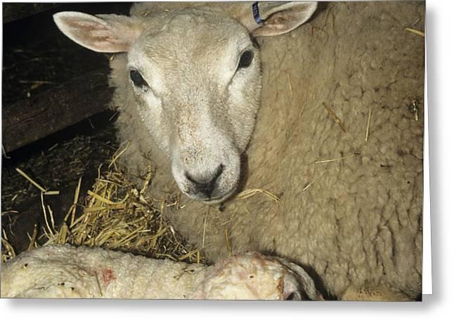 Ewe And New Born Lamb Greeting Card by David Aubrey