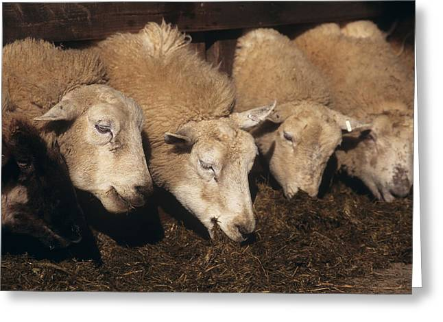 Ewes Feeding Greeting Card by David Aubrey