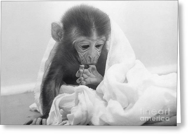 Psychology Photographs Greeting Cards - Experimental Monkey Greeting Card by Science Source