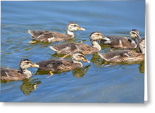 Baby Mallards Greeting Cards - Exploring Together Greeting Card by Fraida Gutovich