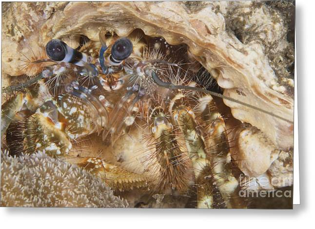 Decapoda Greeting Cards - Extreme Close-up Of A Hermit Crab Greeting Card by Terry Moore