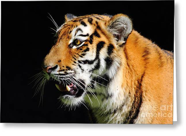 Greeting Cards - Eye of the Tiger Greeting Card by Holger Ostwald