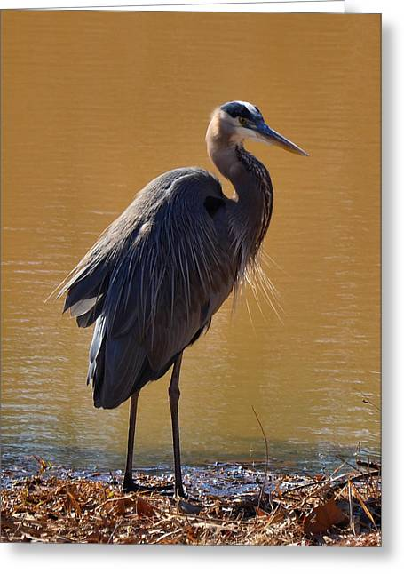 Blue Heron Greeting Cards - Eyeing Heron - c3536e Greeting Card by Paul Lyndon Phillips