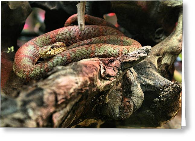 Bothriechis Greeting Cards - Eyelash Viper Greeting Card by JC Findley