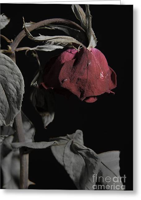Flowers Stretched Prints Greeting Cards - Faded Love Wilted Rose on Black Greeting Card by M K  Miller