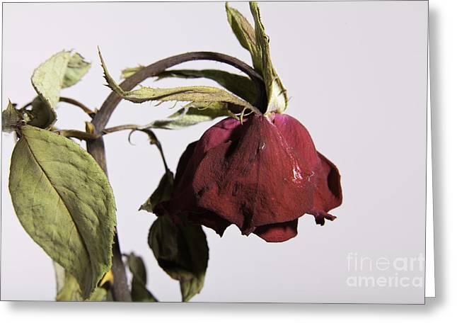 Flowers Stretched Prints Greeting Cards - Faded Love Wilted Rose on White Greeting Card by M K  Miller