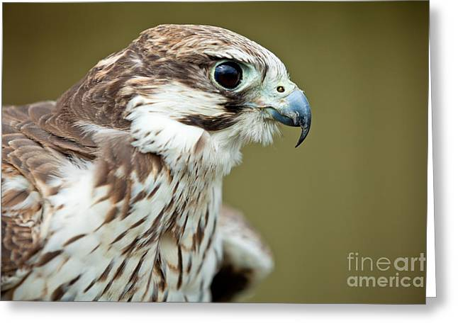 Falcon Hunting Greeting Cards - Falcon close up Greeting Card by Simon Bratt Photography LRPS