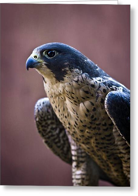 Sit-ins Greeting Cards - Falcon Greeting Card by Richard Wear