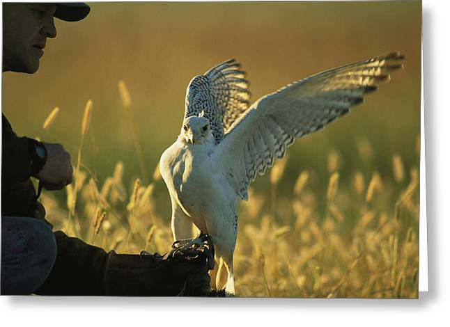 Falconry And Falconry Equipment Greeting Cards - Falconer Steve Sherrod Prepares To Hunt Greeting Card by Joel Sartore