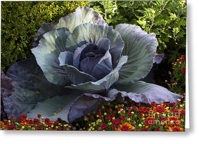 Chevalier Greeting Cards - Fall Cabbage Greeting Card by Elizabeth Chevalier