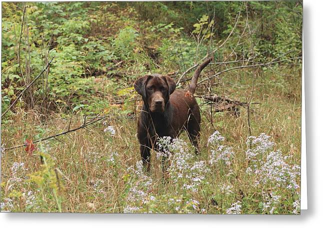 Chocolate Lab Greeting Cards - Fall day hike Greeting Card by Gord Patterson